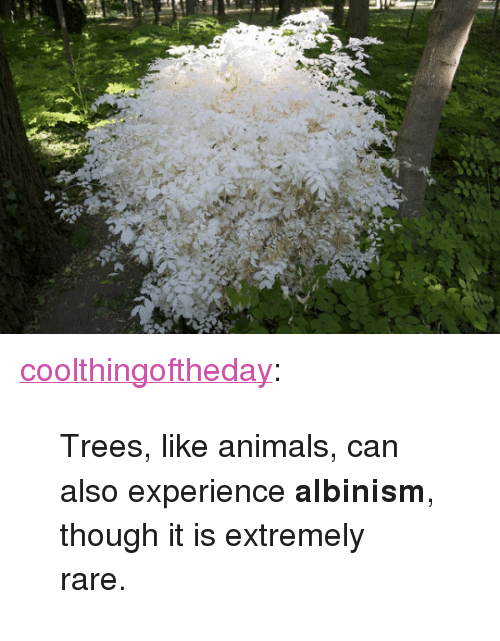 "albinism: <p><a href=""http://coolthingoftheday.tumblr.com/post/116176128561/trees-like-animals-can-also-experience-albinism"" class=""tumblr_blog"">coolthingoftheday</a>:</p>  <blockquote><p>Trees, like animals, can also experience <b>albinism</b>, though it is extremely rare.</p></blockquote>"