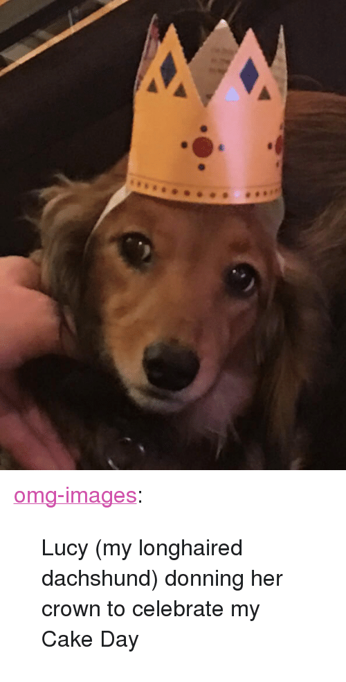 """dachshund: <p><a href=""""https://omg-images.tumblr.com/post/171467716652/lucy-my-longhaired-dachshund-donning-her-crown"""" class=""""tumblr_blog"""">omg-images</a>:</p>  <blockquote><p>Lucy (my longhaired dachshund) donning her crown to celebrate my Cake Day</p></blockquote>"""