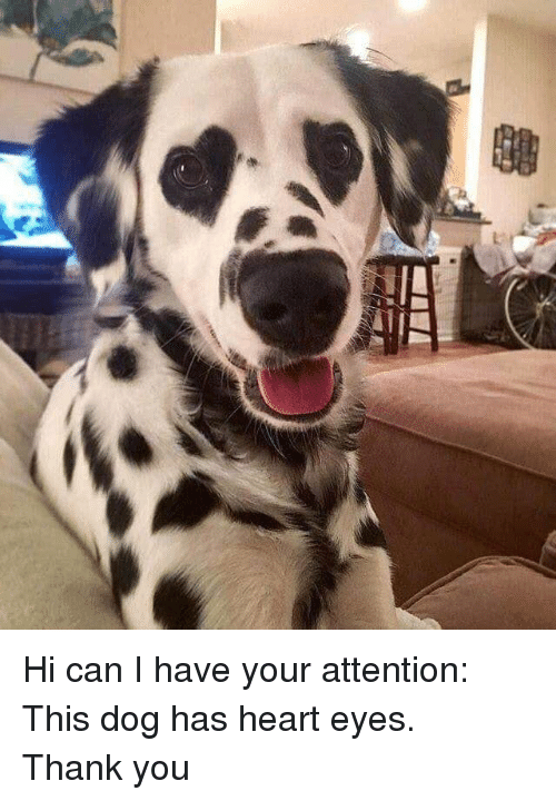 I Have Your: <p>Hi can I have your attention:<br/>This dog has heart eyes.<br/>Thank you</p>