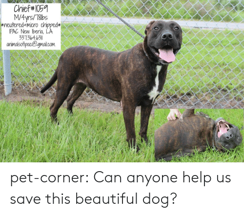 Beautiful, Tumblr, and Blog: స  Chief 105  G66¢Cడదం  M/4yrs/78bs  wneutered micro chipped*  IPAC New beria, LA  33136463  anrimalsofipac@gnail.com pet-corner:  Can anyone help us save this beautiful dog?