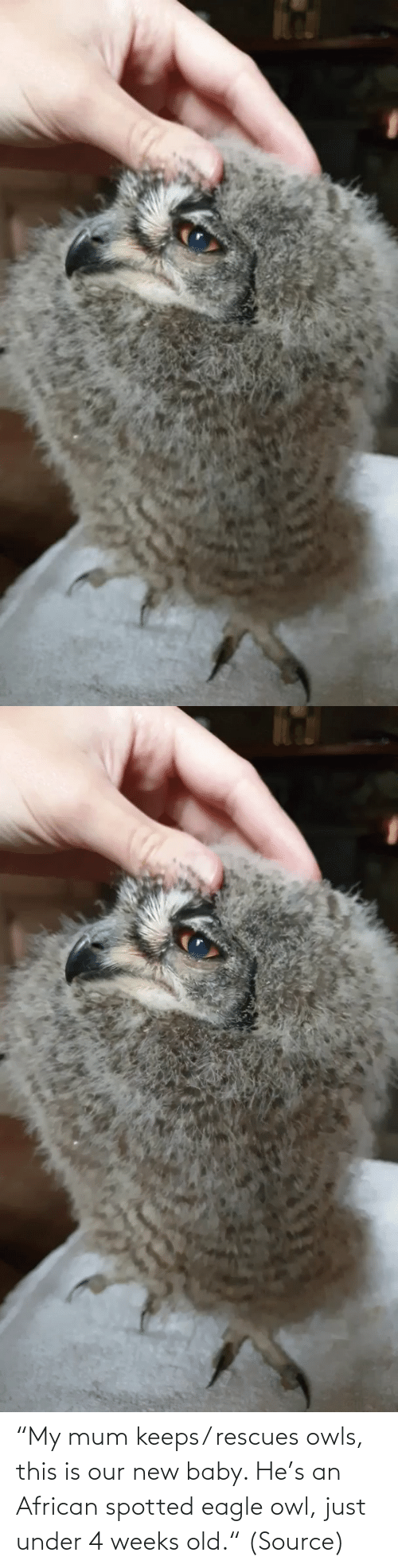"new: ""My mum keeps/ rescues owls, this is our new baby. He's an African spotted eagle owl, just under 4 weeks old."" (Source)"