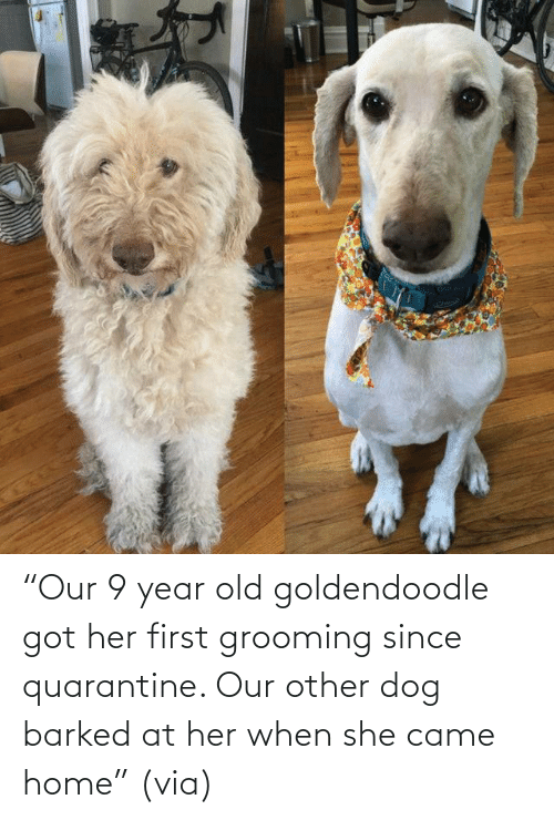 "Our: ""Our 9 year old goldendoodle got her first grooming since quarantine. Our other dog barked at her when she came home"" (via)"