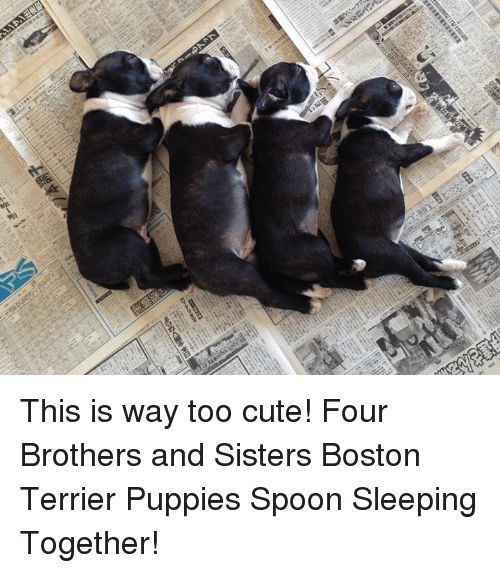 Boston Terrier: ン  CED  ao This is way too cute! Four Brothers and Sisters Boston Terrier Puppies Spoon Sleeping Together!