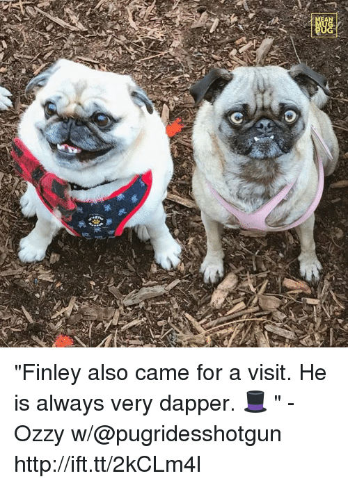 "Ozzies: 券  踟  A ""Finley also came for a visit. He is always very dapper. 🎩 "" -Ozzy w/@pugridesshotgun http://ift.tt/2kCLm4l"