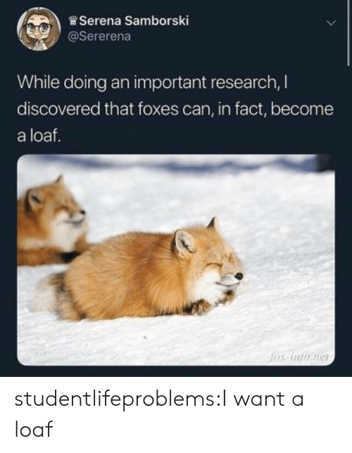 foxes: ,)曾Serena Samborski  @Sererena  While doing an important research, I  discovered that foxes can, in fact, become  a loaf. studentlifeproblems:I want a loaf