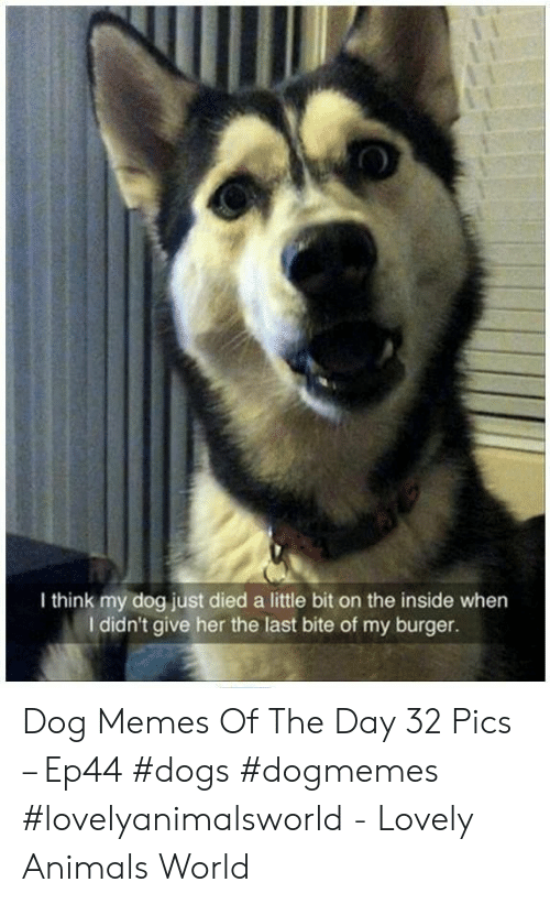 Animals, Dogs, and Memes: 0  I think my dog just died a little bit on the inside when  I didn't give her the last bite of my burger. Dog Memes Of The Day 32 Pics – Ep44 #dogs #dogmemes #lovelyanimalsworld - Lovely Animals World