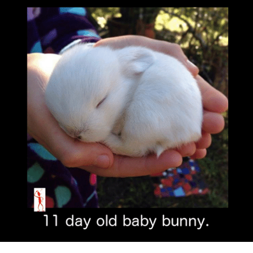 baby bunnies: 11 day old baby bunny.