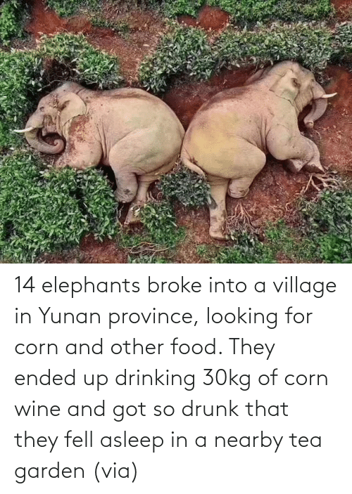 Ended: 14 elephants broke into a village in Yunan province, looking for corn and other food. They ended up drinking 30kg of corn wine and got so drunk that they fell asleep in a nearby tea garden (via)