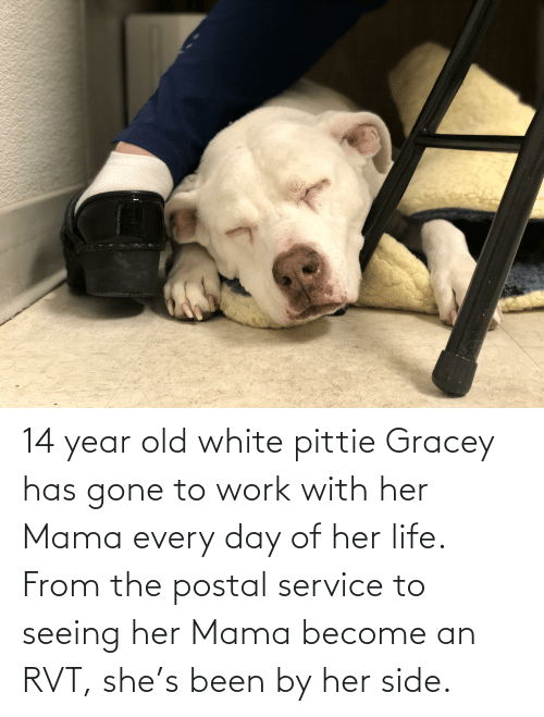 14 Year Old: 14 year old white pittie Gracey has gone to work with her Mama every day of her life. From the postal service to seeing her Mama become an RVT, she's been by her side.