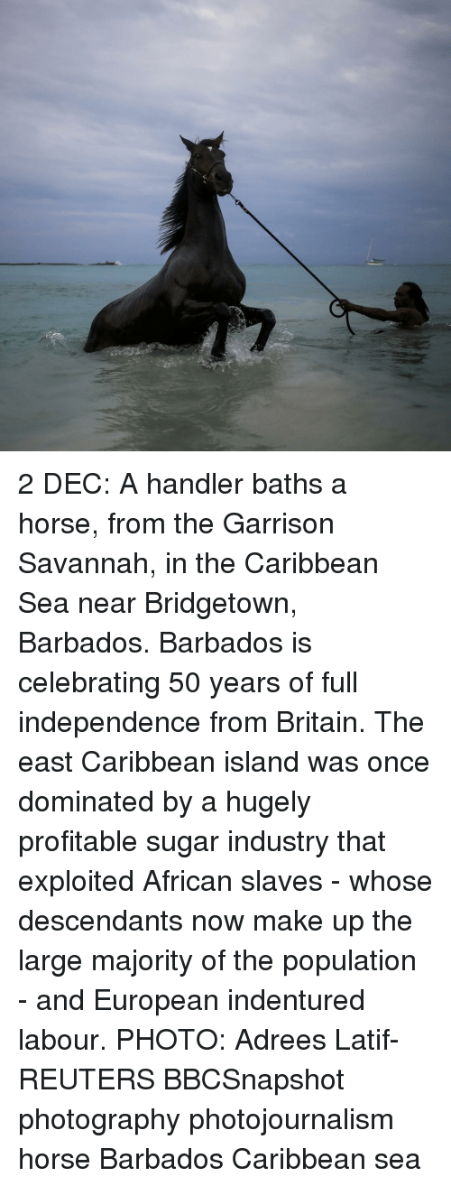 Populism: 2 DEC: A handler baths a horse, from the Garrison Savannah, in the Caribbean Sea near Bridgetown, Barbados. Barbados is celebrating 50 years of full independence from Britain. The east Caribbean island was once dominated by a hugely profitable sugar industry that exploited African slaves - whose descendants now make up the large majority of the population - and European indentured labour. PHOTO: Adrees Latif- REUTERS BBCSnapshot photography photojournalism horse Barbados Caribbean sea