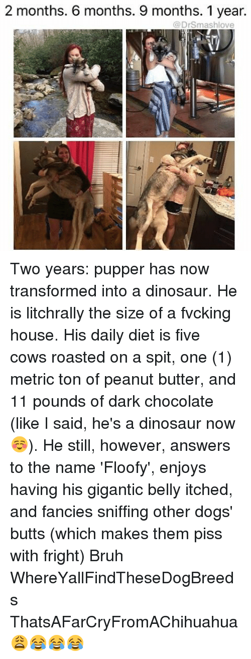 fanciness: 2 months. 6 months. 9 months. 1 year.  (a Drsmashlove Two years: pupper has now transformed into a dinosaur. He is litchrally the size of a fvcking house. His daily diet is five cows roasted on a spit, one (1) metric ton of peanut butter, and 11 pounds of dark chocolate (like I said, he's a dinosaur now ☺️). He still, however, answers to the name 'Floofy', enjoys having his gigantic belly itched, and fancies sniffing other dogs' butts (which makes them piss with fright) Bruh WhereYallFindTheseDogBreeds ThatsAFarCryFromAChihuahua 😩😂😂😂