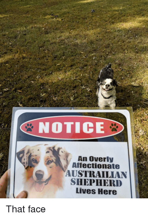 affectionate: 2  NOTICE  An Overly  Affectionate  AUSTRAILIAN  SHEPHERD  Lives Here That face
