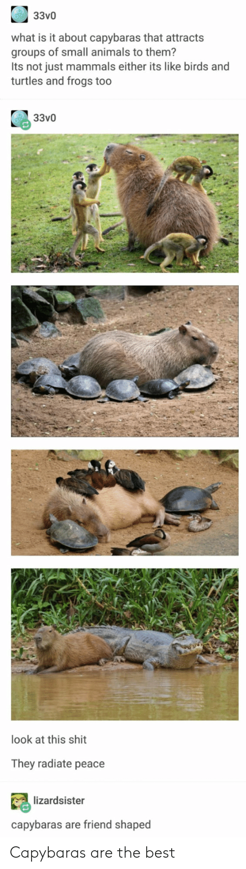 Animals, Shit, and Best: 33v0  what is it about capybaras that attracts  groups of small animals to them?  Its not just mammals either its like birds and  turtles and frogs too  33v0  look at this shit  They radiate peace  lizardsister  capybaras are friend shaped Capybaras are the best