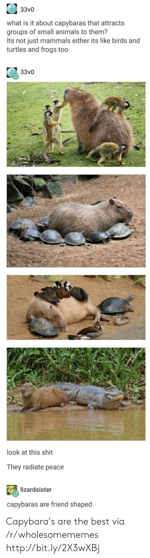 frogs: 33v0  what is it about capybaras that attracts  groups of small animals to them?  Its not just mammals either its like birds and  turtles and frogs too  33v0  look at this shit  They radiate peace  lizardsister  capybaras are friend shaped Capybara's are the best via /r/wholesomememes http://bit.ly/2X3wXBj