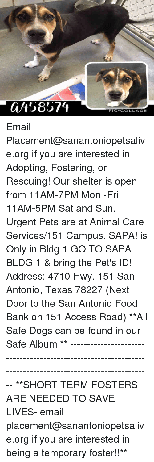 fosters: 458574  PIC-COLLAGE Email Placement@sanantoniopetsalive.org if you are interested in Adopting, Fostering, or Rescuing!  Our shelter is open from 11AM-7PM Mon -Fri, 11AM-5PM Sat and Sun.  Urgent Pets are at Animal Care Services/151 Campus. SAPA! is Only in Bldg 1 GO TO SAPA BLDG 1 & bring the Pet's ID! Address: 4710 Hwy. 151 San Antonio, Texas 78227 (Next Door to the San Antonio Food Bank on 151 Access Road)  **All Safe Dogs can be found in our Safe Album!** ---------------------------------------------------------------------------------------------------------- **SHORT TERM FOSTERS ARE NEEDED TO SAVE LIVES- email placement@sanantoniopetsalive.org if you are interested in being a temporary foster!!**