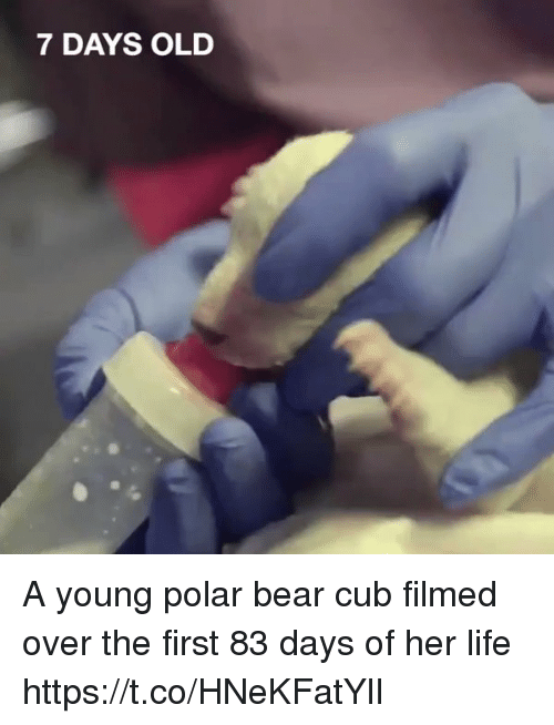polarized: 7 DAYS OLD A young polar bear cub filmed over the first 83 days of her life  https://t.co/HNeKFatYlI
