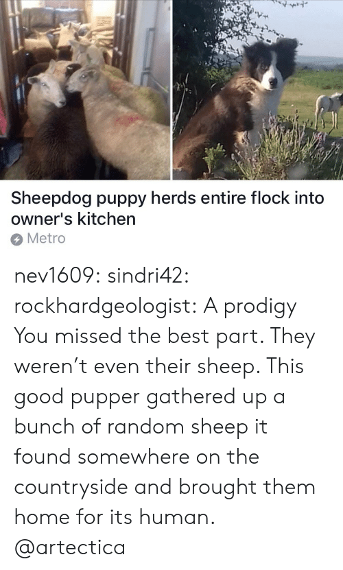 sheepdog: 7  Sheepdog puppy herds entire flock into  owner's kitchen  Metro nev1609:  sindri42: rockhardgeologist: A prodigy You missed the best part. They weren't even their sheep. This good pupper gathered up a bunch of random sheep it found somewhere on the countryside and brought them home for its human.   @artectica