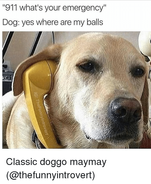 """Maymays: """"911 what's your emergency""""  Dog: yes where are my balls Classic doggo maymay (@thefunnyintrovert)"""