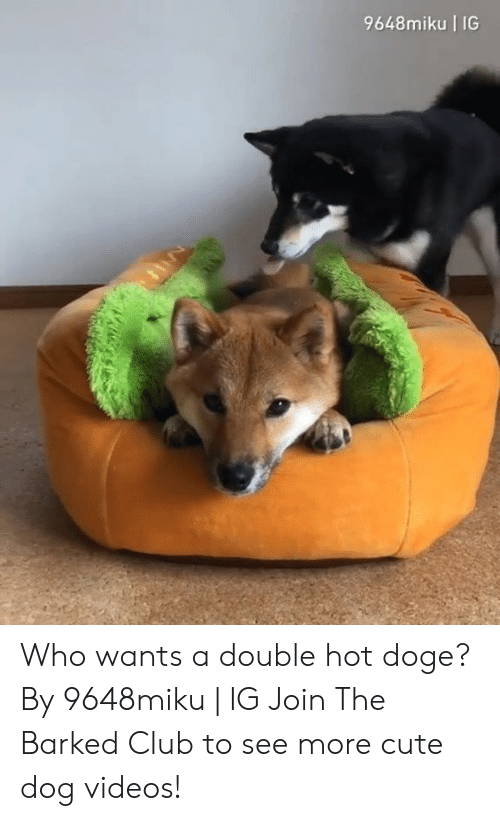 Club, Cute, and Dank: 9648miku IG  La Who wants a double hot doge? By 9648miku | IG  Join The Barked Club to see more cute dog videos!