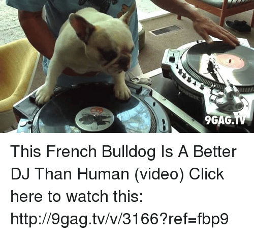 French Bulldogs: 9GAG. This French Bulldog Is A Better DJ Than Human (video)  Click here to watch this: http://9gag.tv/v/3166?ref=fbp9