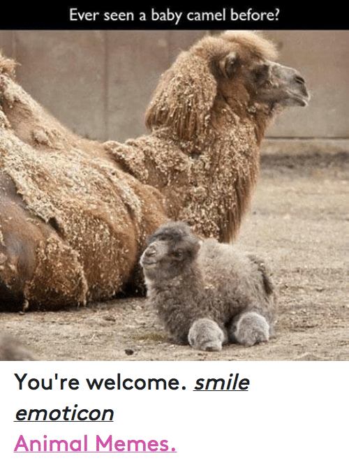 Animation Meme: Ever seen a baby camel before You're welcome. smile emoticon  Animal Memes.