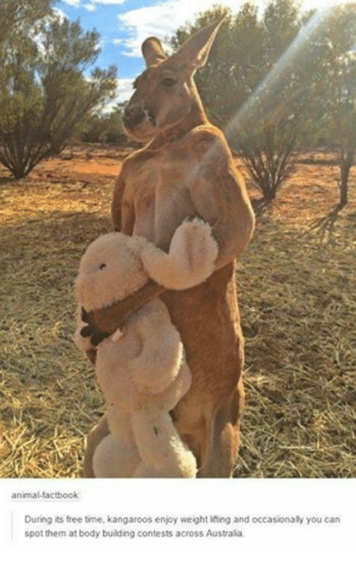 Body Building: animal-factbook  During its free time, kangaroos enjoy weight lifting and occasionally you can  spot them at body building contests across Australia.