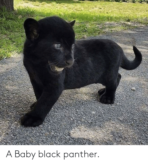 Black Panther: A Baby black panther.