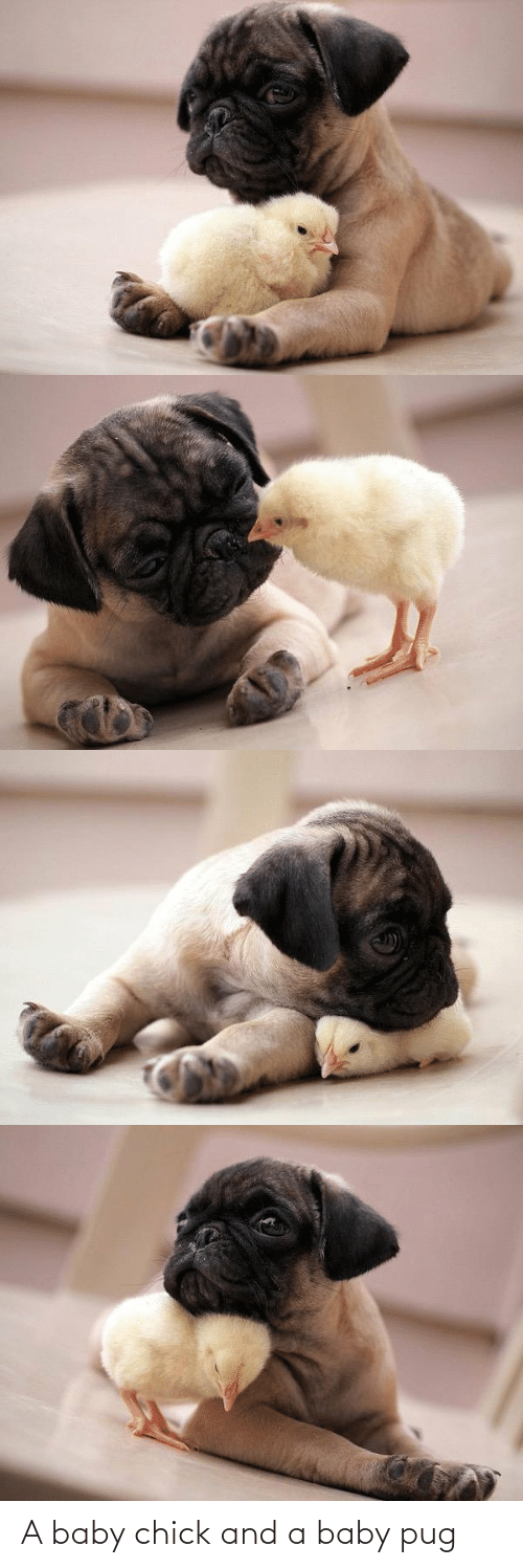 chick: A baby chick and a baby pug