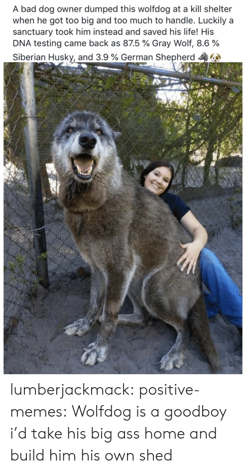 Ass, Bad, and Life: A bad dog owner dumped this wolfdog at a kill shelter  when he got too big and too much to handle. Luckily a  sanctuary took him instead and saved his life! His  DNA testing came back as 875 % Gray Wolf, 8.6 %  Siberian Husky, and 3.9 % German Shepherd 44 lumberjackmack:   positive-memes:  Wolfdog is a goodboy  i'd take his big ass home and build him his own shed