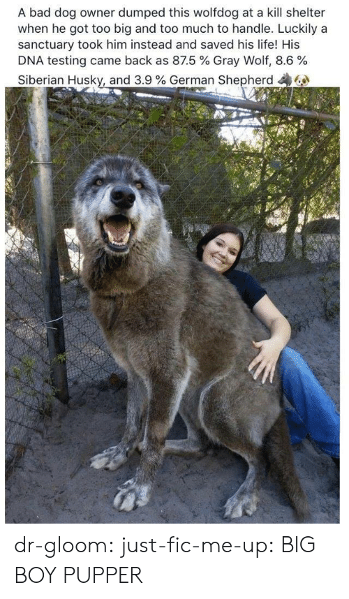 Dog Owner: A bad dog owner dumped this wolfdog at a kill shelter  when he got too big and too much to handle. Luckily a  sanctuary took him instead and saved his life! His  DNA testing came back as 87.5 % Gray Wolf, 8.6 %  Siberian Husky, and 3.9 % German Shepherd dr-gloom:  just-fic-me-up: BIG BOY PUPPER