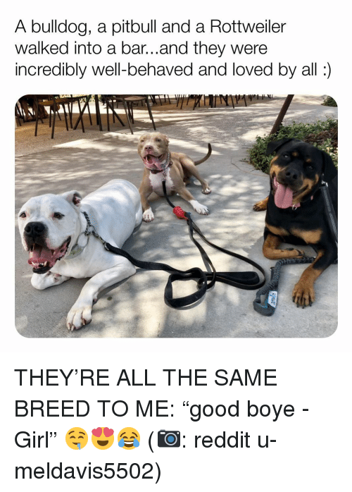 "Memes, Reddit, and Pitbull: A bulldog, a pitbull and a Rottweiler  walked into a bar...and they were  incredibly well-behaved and loved by all: THEY'RE ALL THE SAME BREED TO ME: ""good boye - Girl"" 🤤😍😂 (📷: reddit u-meldavis5502)"