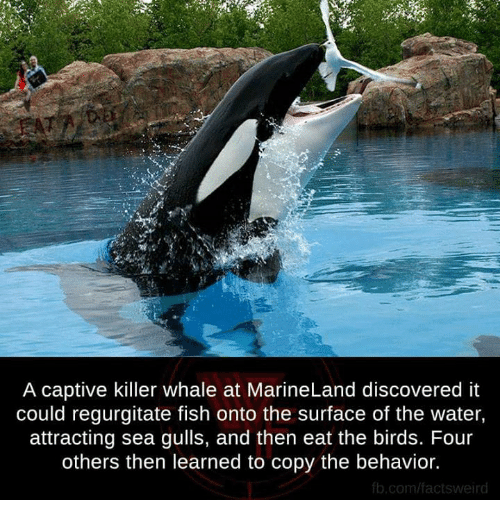 killer whale: A captive killer whale at MarineLand discovered it  could regurgitate fish onto the surface of the water,  attracting sea gulls, and then eat the birds. Four  others then learned to copy the behavior.  fb.com/factsweird