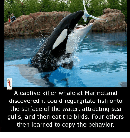 killer whale: A captive killer whale at MarineLand  discovered it could regurgitate fish onto  the surface of the water, attracting sea  gulls, and then eat the birds. Four others  then learned to copy the behavior.