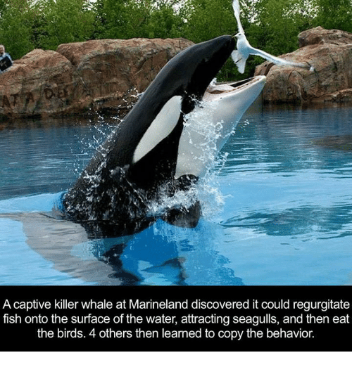 killer whale: A captive killer whale at Marineland discovered it could regurgitate  fish onto the surface of the water, attracting seagulls, and then eat  the birds. 4 others then learned to copy the behavior.