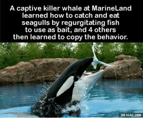 regurgitator: A captive killer whale at MarineLand  learned how to catch and eat  seagulls by regurgitating fish  to use as bait, and 4 others  then learned to copy the behavior  VIA 9GAG.COM