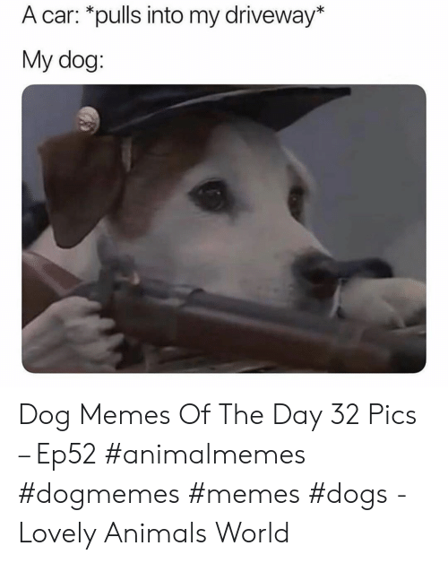 Animals, Dogs, and Memes: A car: *pulls into my driveway*  My dog: Dog Memes Of The Day 32 Pics – Ep52 #animalmemes #dogmemes #memes #dogs - Lovely Animals World