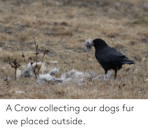 Collecting: A Crow collecting our dogs fur we placed outside.