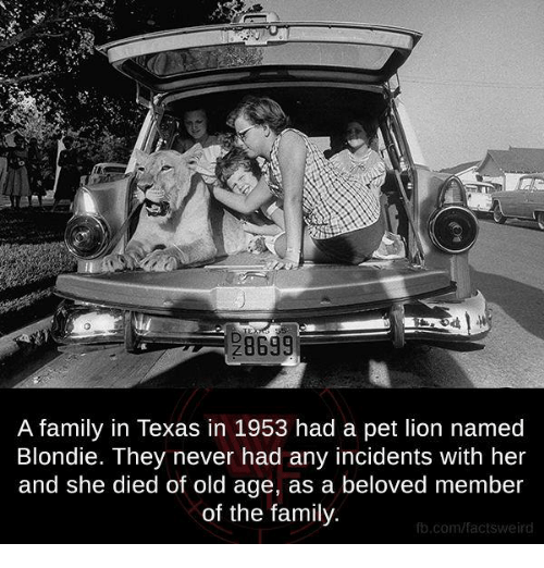 Facts, Family, and Memes: A family in Texas in 1953 had a pet lion named  Blondie. They never had any incidents with her  and she died of old age, as a beloved member  of the family.  fb.com/facts Weird