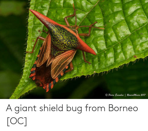 Giant: A giant shield bug from Borneo [OC]
