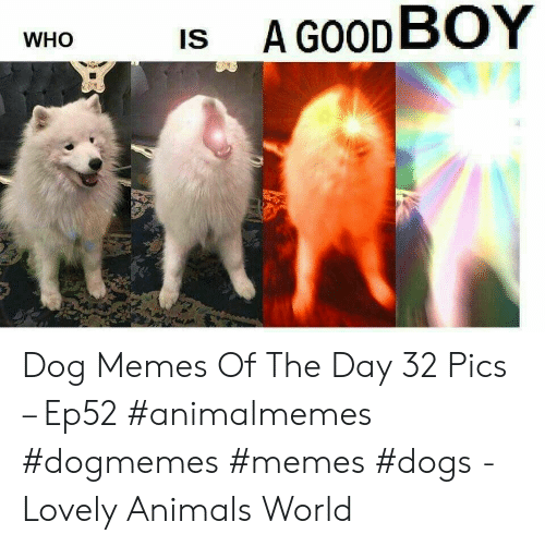 Animals, Dogs, and Memes: A GOOD BOY  IS  WHO Dog Memes Of The Day 32 Pics – Ep52 #animalmemes #dogmemes #memes #dogs - Lovely Animals World