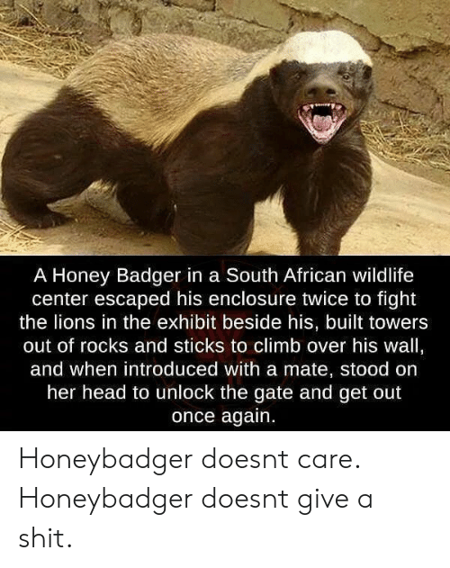 badger: A Honey Badger in a South African wildlife  center escaped his enclosure twice to fight  the lions in the exhibit beside his, built towers  out of rocks and sticks to climb over his wall,  and when introduced with a mate, stood on  her head to unlock the gate and get out  once again. Honeybadger doesnt care. Honeybadger doesnt give a shit.