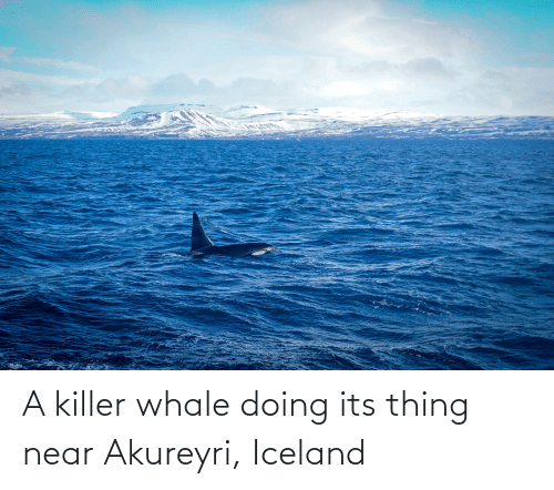 killer whale: A killer whale doing its thing near Akureyri, Iceland