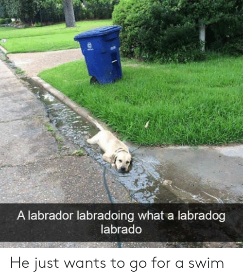 Labrador, What, and For: A labrador labradoing what a labradog  labrado He just wants to go for a swim
