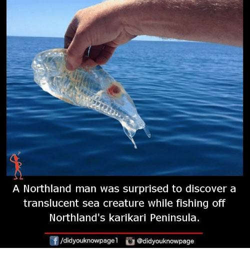 Memes, Discover, and Fishing: A Northland man was surprised to discover a  translucent sea creature While fishing off  Northland's karikari Peninsula.  /didyouknowpagen  @didyouknowpage