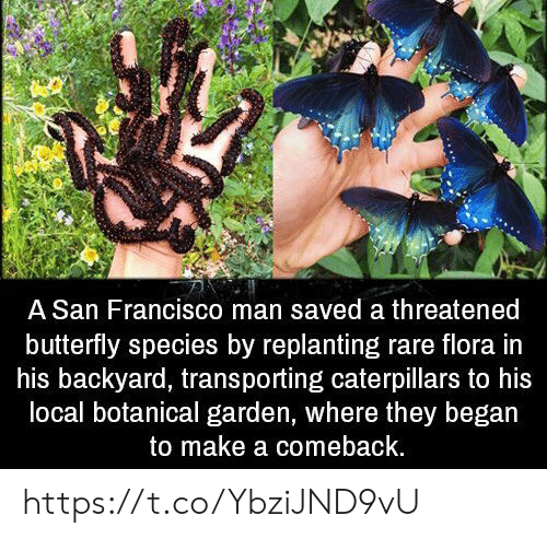 Memes, Butterfly, and San Francisco: A San Francisco man saved a threatened  butterfly species by replanting rare flora in  his backyard, transporting caterpillars to his  local botanical garden, where they began  to make a comeback. https://t.co/YbziJND9vU