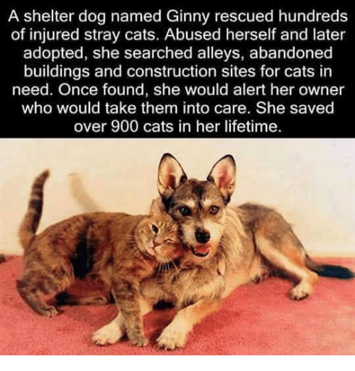 stray cats: A shelter dog named Ginny rescued hundreds  of injured stray cats. Abused herself and later  adopted, she searched alleys, abandoned  buildings and construction sites for cats in  need. Once found, she would alert her owner  who would take them into care. She saved  over 900 cats in her lifetime.