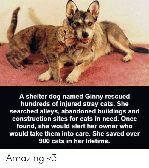 stray cats: A shelter dog named Ginny rescued  hundreds of injured stray cats. She  searched alleys, abandoned buildings and  construction sites for cats in need. Once  found, she would alert her owner who  would take them into care. She saved over  900 cats in her lifetime. Amazing <3