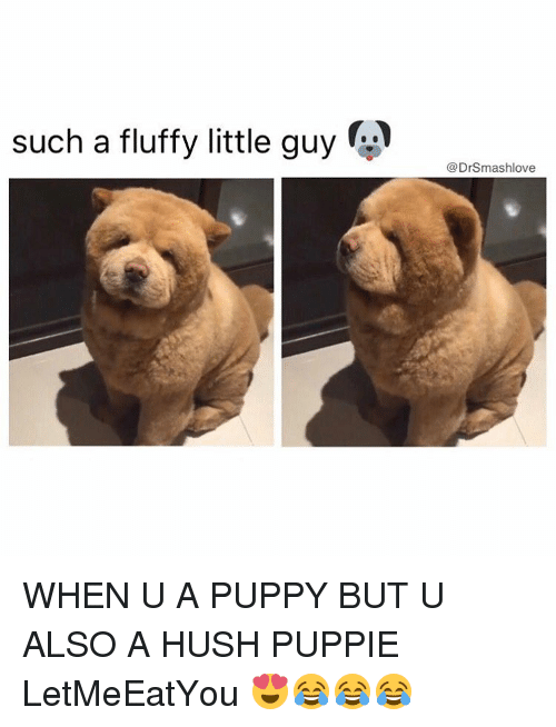 Fluffiness: A  such a fluffy little guy  @Drsmashlove WHEN U A PUPPY BUT U ALSO A HUSH PUPPIE LetMeEatYou 😍😂😂😂