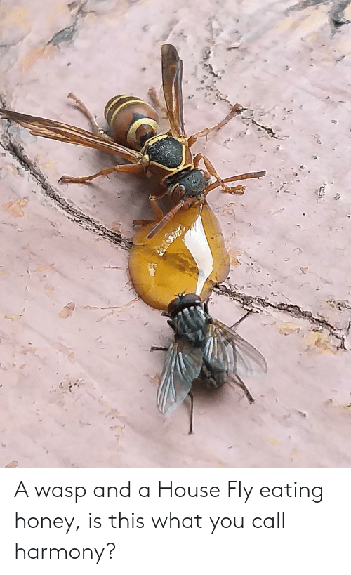 fly: A wasp and a House Fly eating honey, is this what you call harmony?