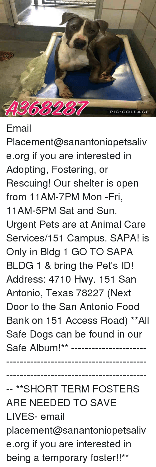 food bank: A368287  PIC-COLLAGE Email Placement@sanantoniopetsalive.org if you are interested in Adopting, Fostering, or Rescuing!  Our shelter is open from 11AM-7PM Mon -Fri, 11AM-5PM Sat and Sun.  Urgent Pets are at Animal Care Services/151 Campus. SAPA! is Only in Bldg 1 GO TO SAPA BLDG 1 & bring the Pet's ID! Address: 4710 Hwy. 151 San Antonio, Texas 78227 (Next Door to the San Antonio Food Bank on 151 Access Road)  **All Safe Dogs can be found in our Safe Album!** ---------------------------------------------------------------------------------------------------------- **SHORT TERM FOSTERS ARE NEEDED TO SAVE LIVES- email placement@sanantoniopetsalive.org if you are interested in being a temporary foster!!**
